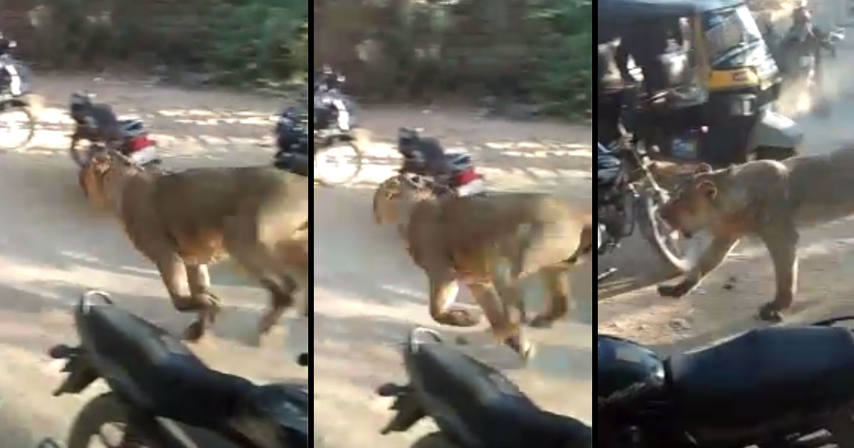 http://meranews.com/backend/main_imgs/lion_porbandar-lion-attacks-on-two-man-at-madhavpur-video_0.jpg?69