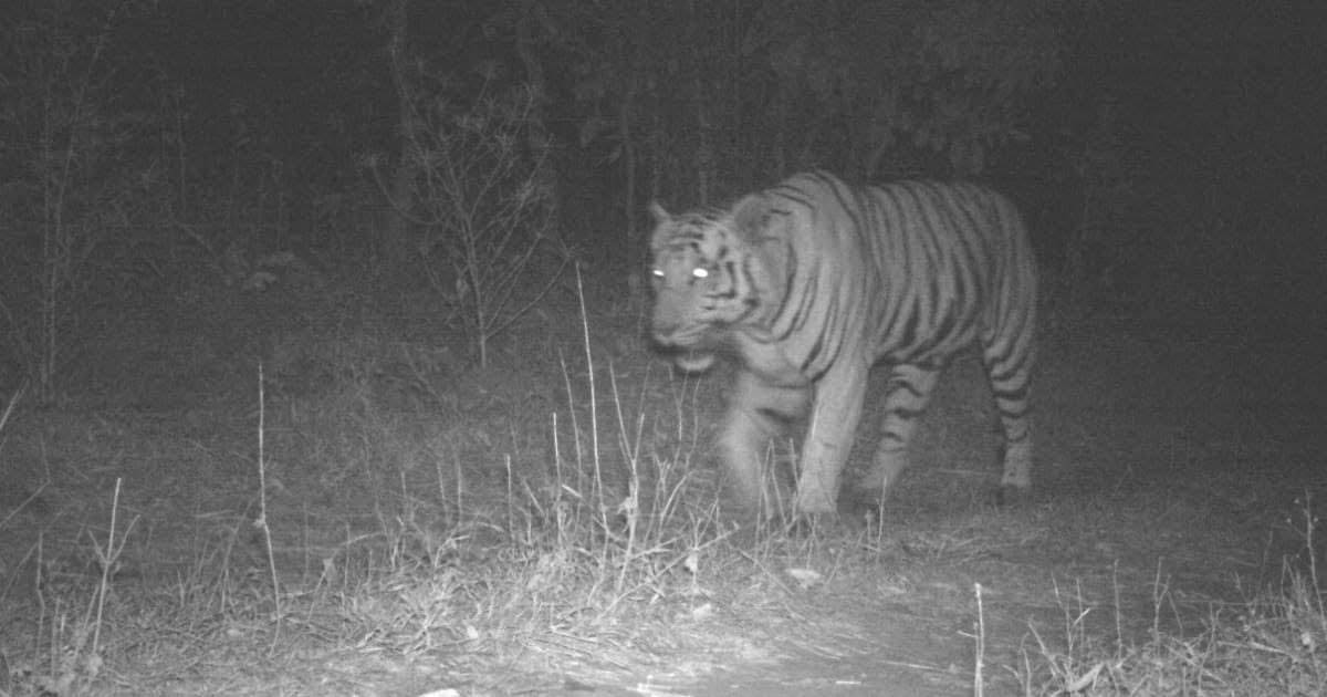 tiger in gujarat